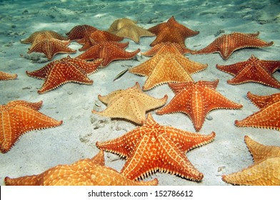 Plenty of cushion starfish on a sandy ocean floor
