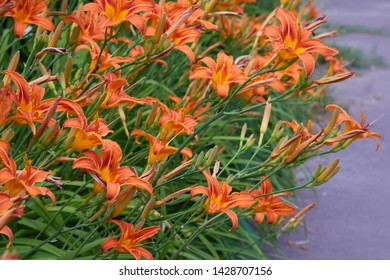 Plenty of Orange lilium/lily (Lilium bulbiferum) also known as Fire Lily.  Lilys with open and closed blossoms, close-up.