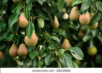 how to grow a pear tree from a cutting