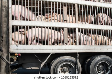 Plenty pigs in cages on the way during transport by truck to the slaughterhouse.