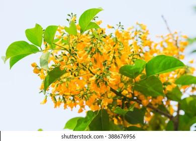 Plenty Pterocarpus flower