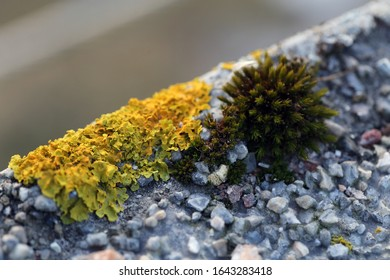 Plenty of small golden colored maritime sunburst lichen (xanthoria parietina) with green moss and some small rocks. Closeup / macro image from a walking bridge in Espoo, Finland. Springtime.