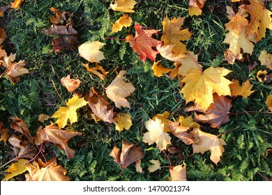Plenty of yellow and orange fall leaves laying on the ground during a sunny afternoon in Finland. You can see a lot of maple leaves, some other colorful leaves and some green meadow. Color image.