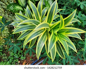 Pleomele or lily bamboo or Song of India plant (Dracaena reflexa) in the garden