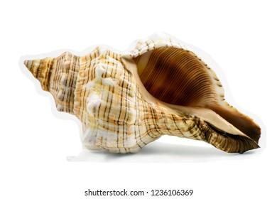 Pleuroploca trapezium, trapezium horse conch shell isolated on white