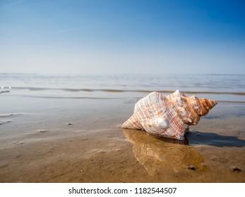 Pleuroploca trapezium side, horse conch