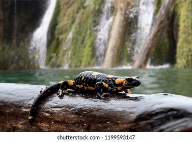 Plitvice Lakes. National Park of Croatia characterized by many waterfalls.Plitvice Lakes. National Park of Croatia characterized by many waterfalls. The spotted salamander is in its natural environmen