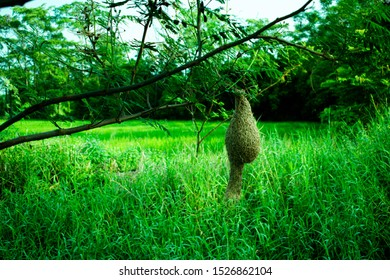 Ploceus, Birds nest on the tree