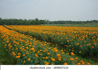 plots of marigold flowers, selective focus.marigold flower is an economic crop and the planted area to be an agricultural tourism attraction in Thailand.