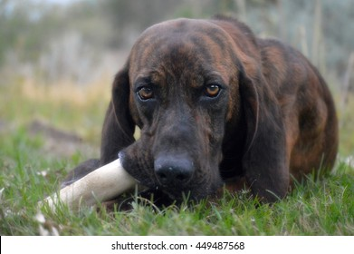 Plott hound chewing a bone