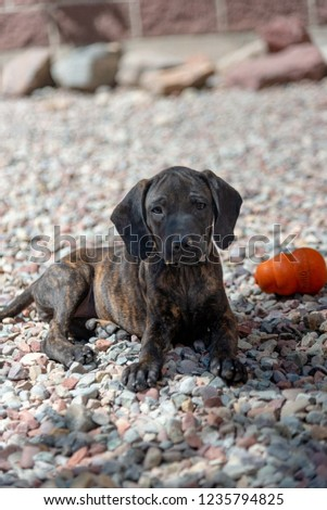 Plott Hound Dog Puppy Rescued Texas Stock Photo Edit Now