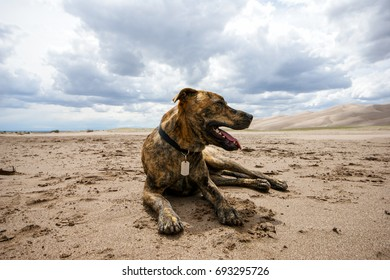 Plott Hound Laying in the Sand