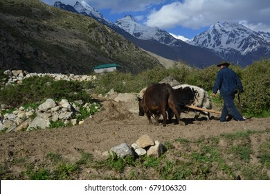 Plough driven by a yak and a bull in Village Chitkul, Sangla valley, Himachal Pradesh. Known as last inhabited village in this area near to India-china border.