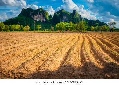 Plough land of cassava or tapioca plant and mountain view at Noen Maprang, Phitsanulok, Thailand