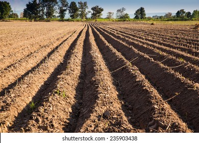 ploughed soil high raised style. Do it for defend cassava rot from drown water and boost productivity.