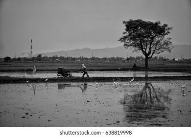 ploughing rice paddies