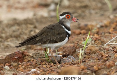 Forbes's Plover with Eggs on the ground