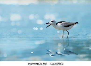 Plover enjoying crab floating in between beaks at Laem Krangyai andaman sea Thailand ,rare migratory crab plover with water reflection and bokeh blurred background. Crab plover eating lunch.