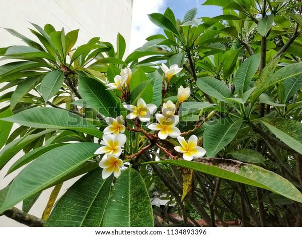 Plover Perennial Plant Genus Plumeria There Stock Photo Edit Now