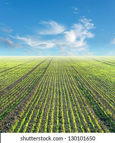 Plowed field with small green plants and blue sky