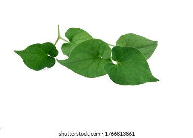 Plu Kaow leaf (Houttuynia cordata Thunb.) isolated on white background