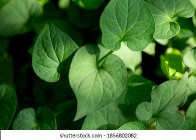 Plu Kaow leaves (Houttuynia cordata Thunb.) isolated on natural background.