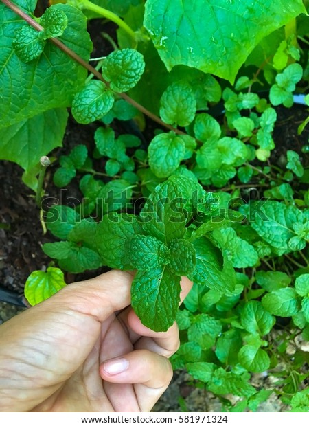 Pluck peppermint leaves by hand