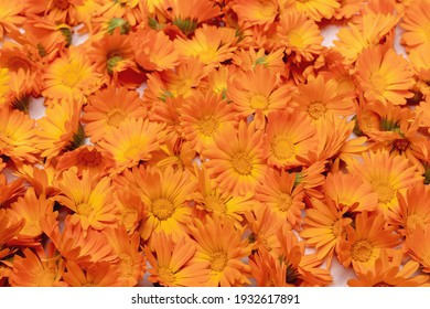 Plucked calendula flowers are dried on the table for medicinal purposes. Background, texture of calendula flowers