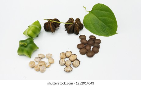 Plukenetia volubilis, commonly known as sacha inchi, sacha peanut, mountain peanut or Inca-peanut. (Fresh, dried and seeds).