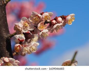 Plum blooming blossom or Prunus mume or Ume flower