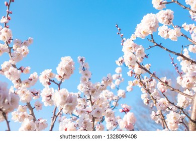 Plum blossom against blue sky, to use as background.