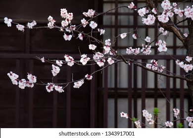 Plum blossom bloomed in the garden and the window of the house