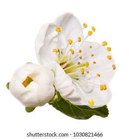 plum blossom flower isolated on white background with clipping path. Springtime element of nature.
