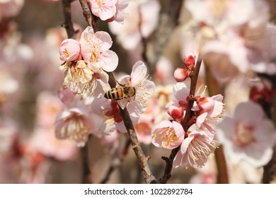 plum blossom and honeybee