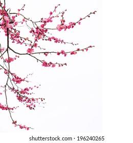 Plum Blossom Isolated on White Background.