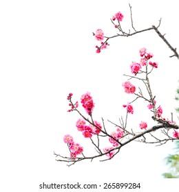 Фотообои Plum Blossom Isolated on White Background.