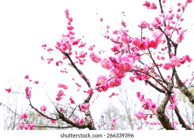 Plum Blossom Isolated on White Background.
