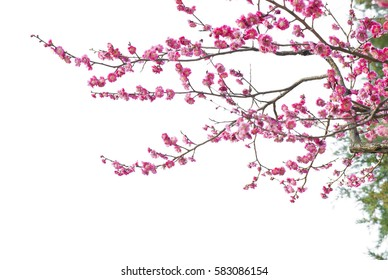 фотообои Plum Blossom Isolated on White Background.