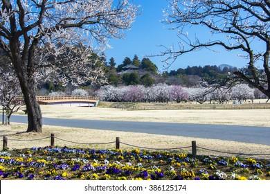 Plum Blossom in Kairakuen Garden, Mito, Japan