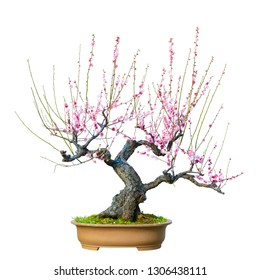 Plum Blossom (Prunus mume) Bonsai in early spring. Isolated on White Background.