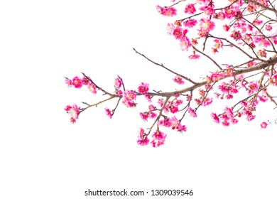 Plum Blossom (Prunus mume) in early spring. Isolated on White Background.
