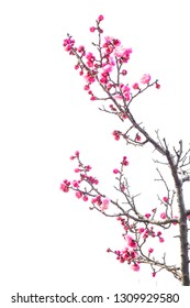 Фотообои Plum Blossom (Prunus mume) in early spring. Isolated on White Background.