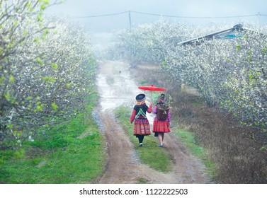 Plum blossom season in Moc Chau, Son La, Vietnam.