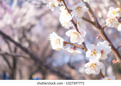 Plum blossoms in early spring in Japan.