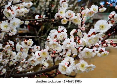 Plum blossoms that signal spring in winter