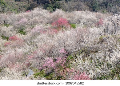 Plum blussoms in full bloom, Tokyo, Japan