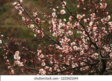 Plum branches and flowers