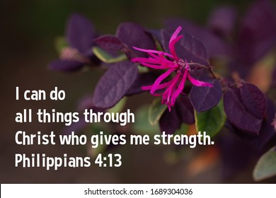 Plum Delight Loropetalum - chinese fringe - with one pink flower in the spring - Philippians 4:13 I can do all things through Christ who gives me strength.