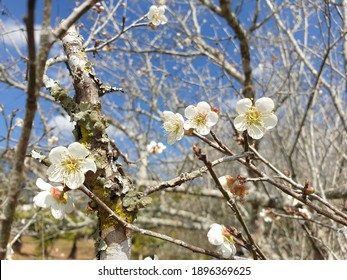 Plum flower blossom beautiful under  blue skyin winter in Loei,Thailand