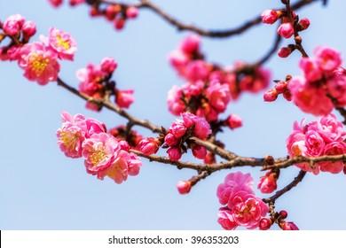 plum flower blossom close up shots taken during spring season . in seoul, south korea.